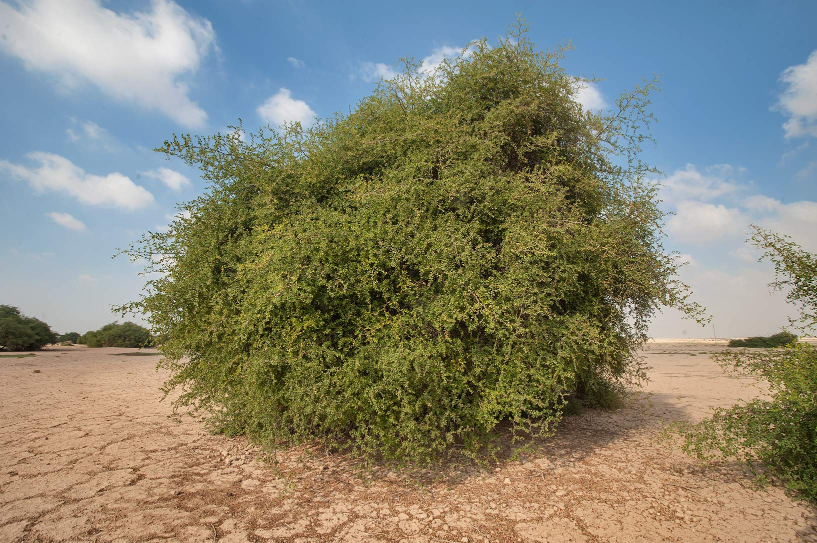 A tree of Ziziphus nummularia in a silty...Nuaman (Numan) in north-western Qatar