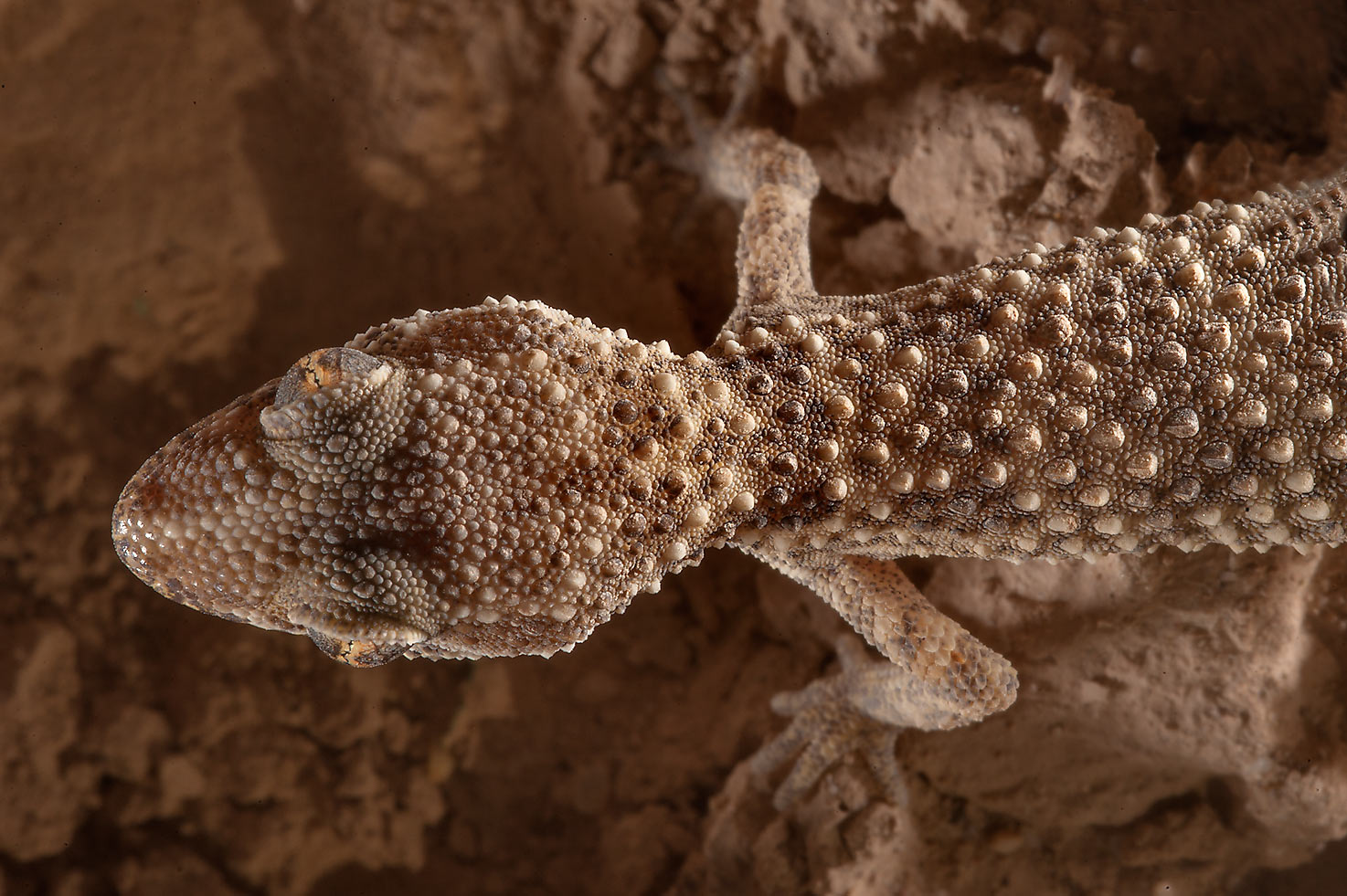 Button-scaled gecko (Bunopus tuberculatus) near Al Nuaman (Numan) in north-western Qatar