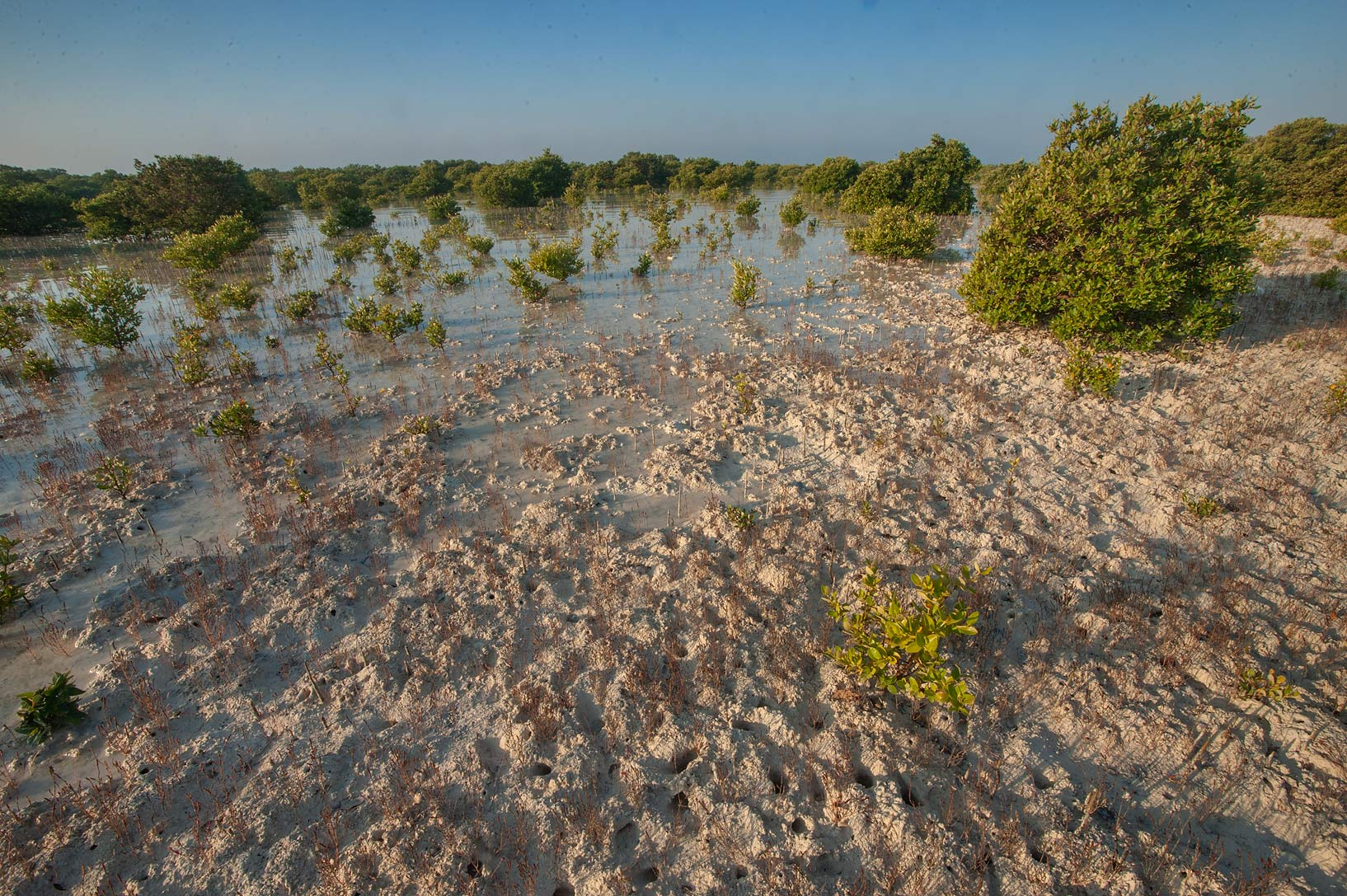 Mangroves at sunrise on Purple Island (Jazirat Bin Ghanim). Al Khor, Qatar
