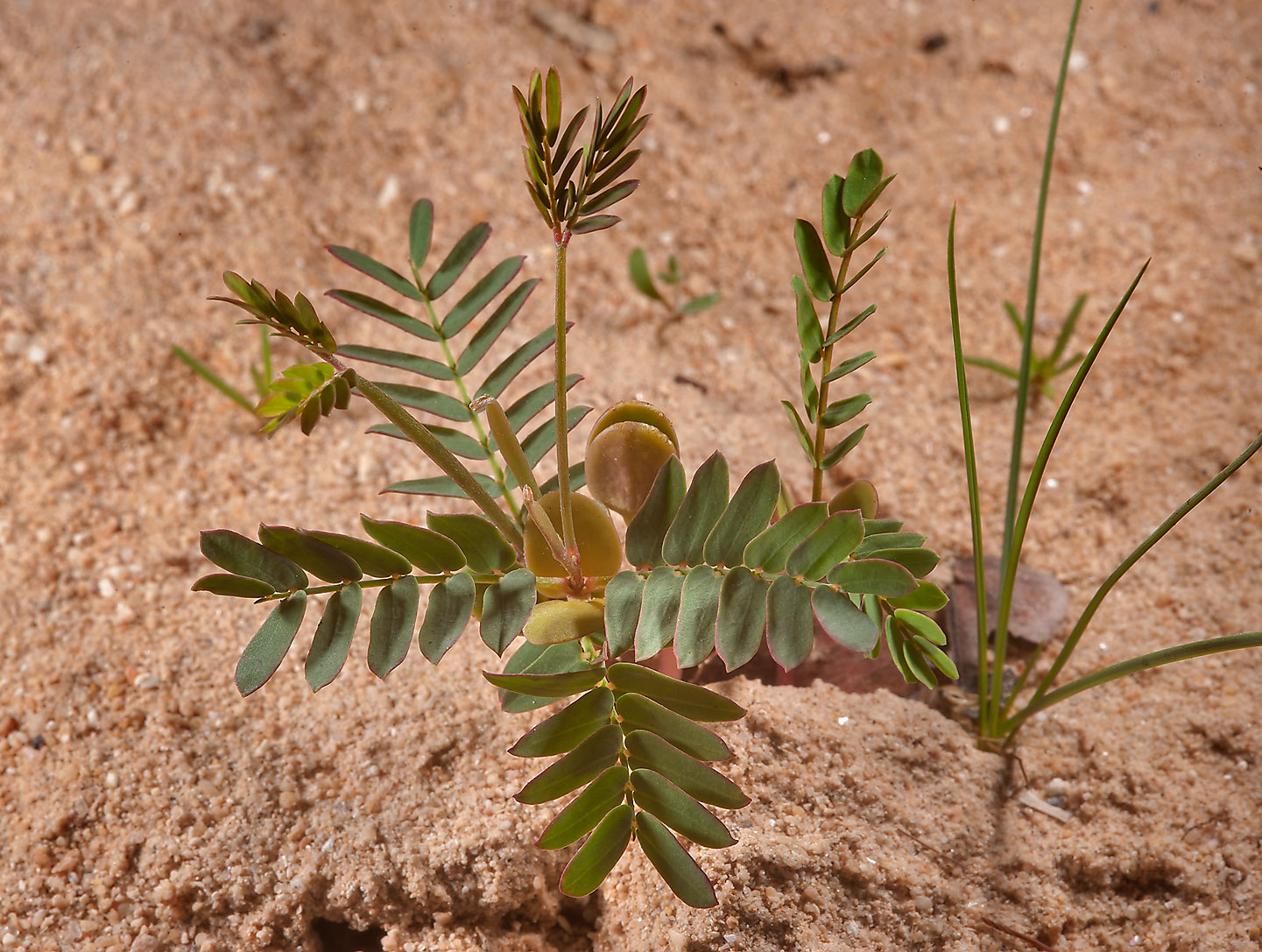 Seedling of Senna italica (Cassia) near Al Khor Hospital. Qatar