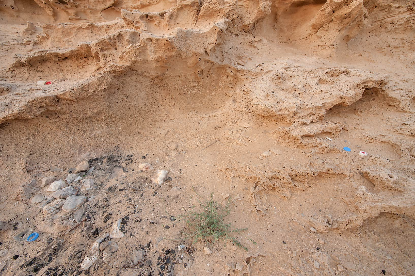 Plant of Lotus garcinii growing in bonfire pit on...of Jebel Fuwairit. Northern Qatar