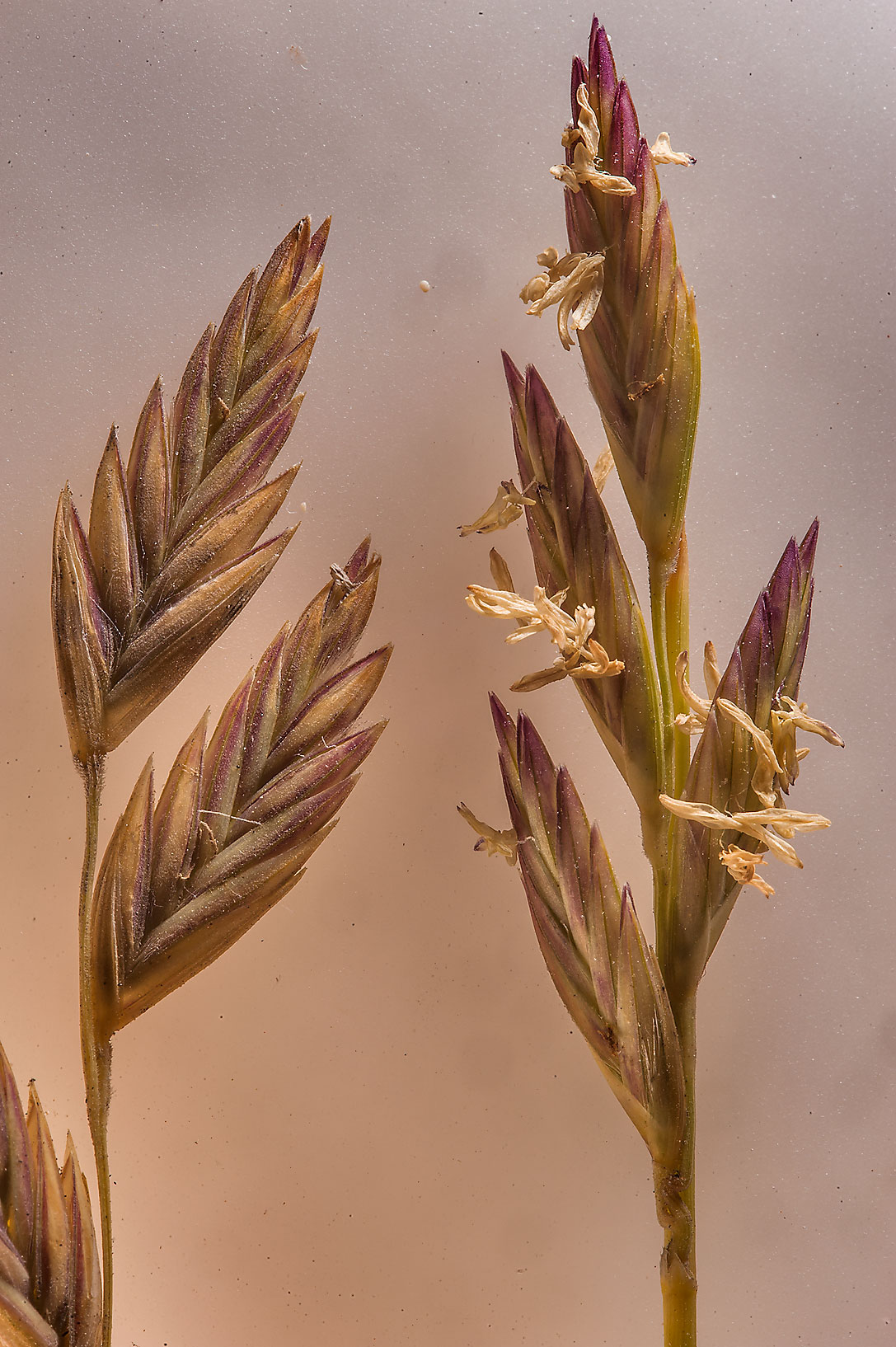 Spikelets of Halopyrum mucronatum grass in...on beach in Marouna. Northern Qatar