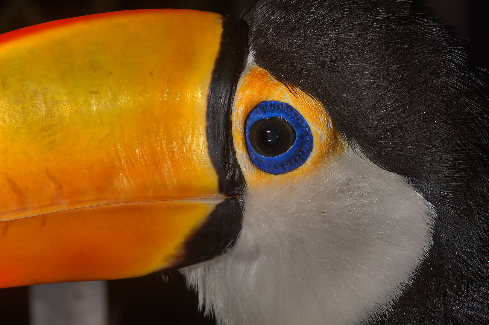 Bright orange beak and blue eye of Toco Toucan...market in Souq Waqif. Doha, Qatar