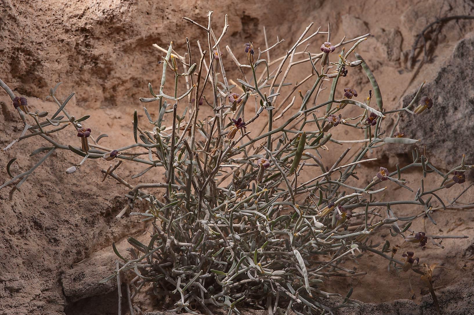 slideshow 152405 farsetia heliophila on rocky ridge of