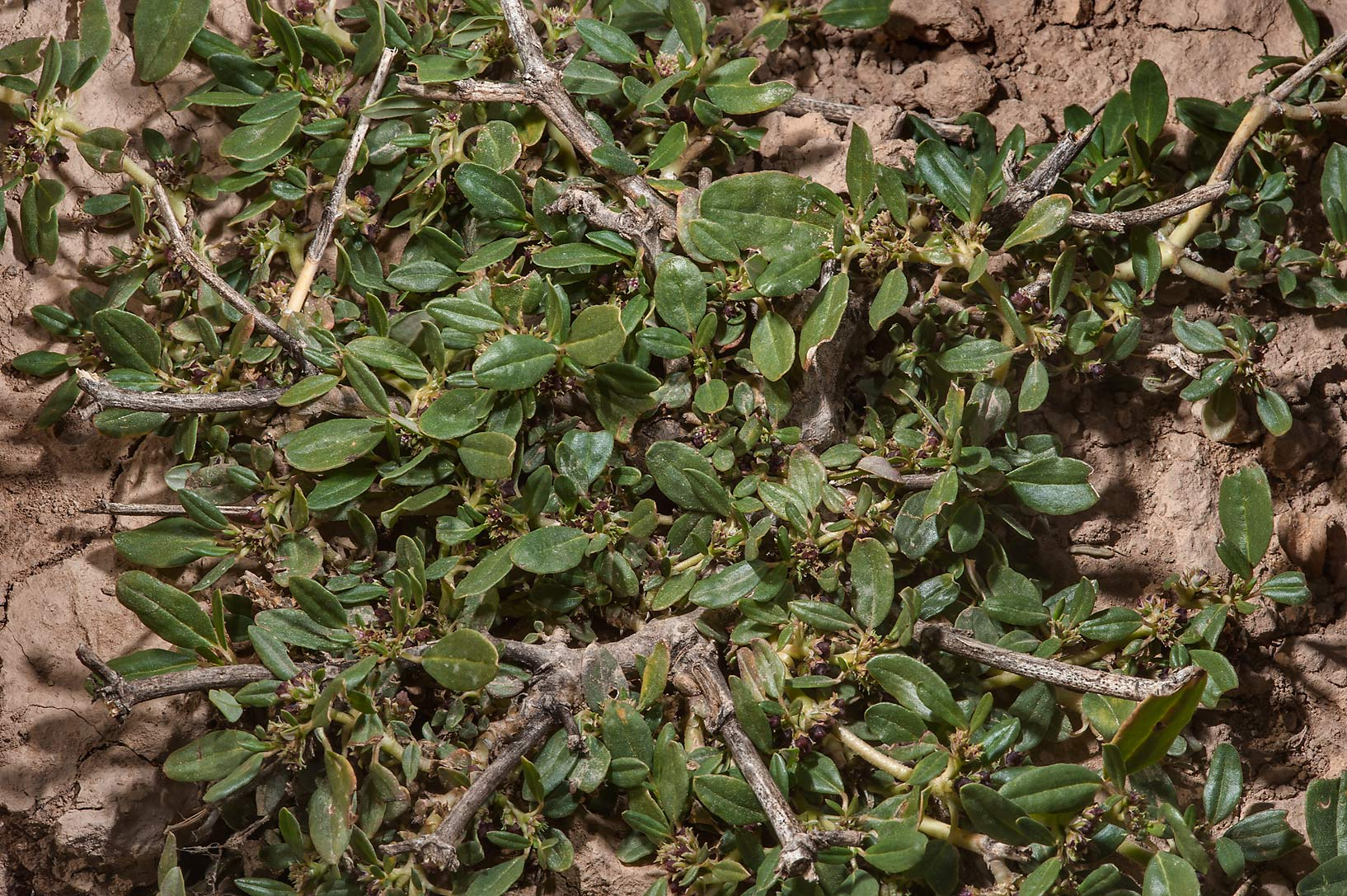 Prostrate plant of Zaleya pentandra in a silty...Al Numan) near Zubara. Northern Qatar