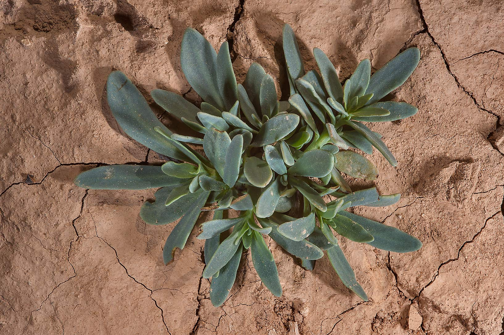 Seedling of seaside heliotrope (Heliotropium...Al Numan) near Zubara. Northern Qatar