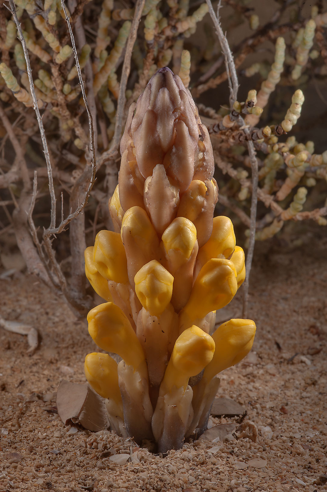 parasitic plants search in pictures