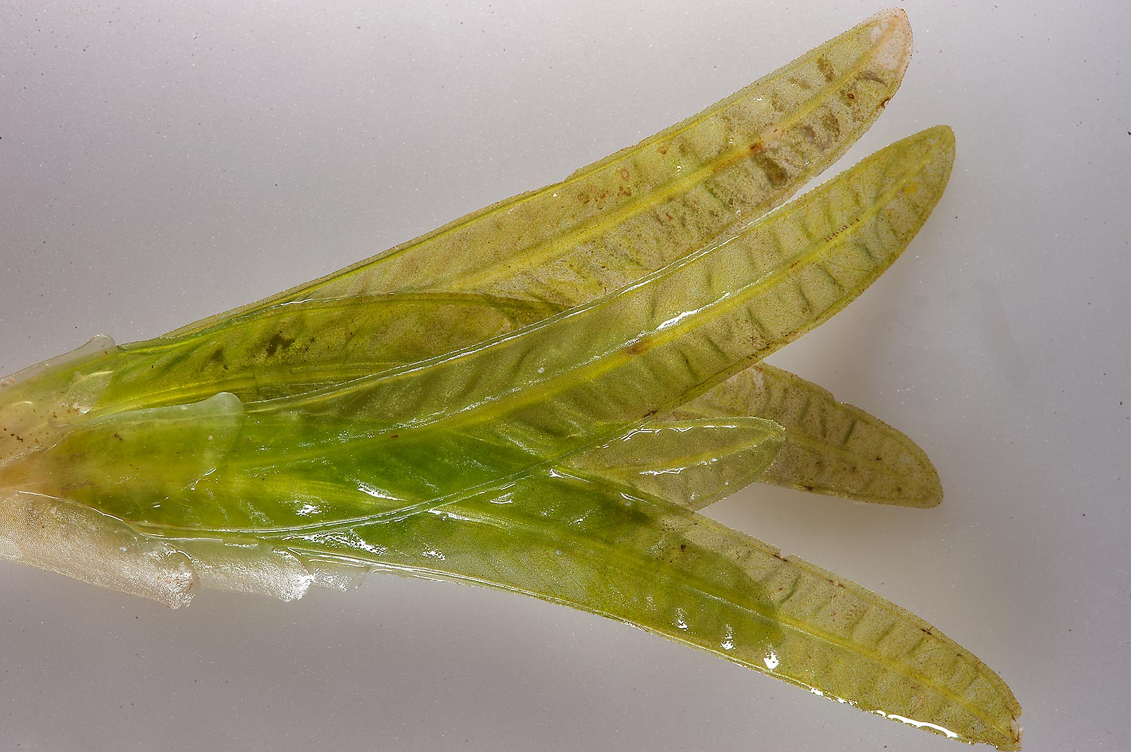 Leaves of seagrass (Halophila stipulacea) with...Jazirat Bin Ghanim). Al Khor, Qatar