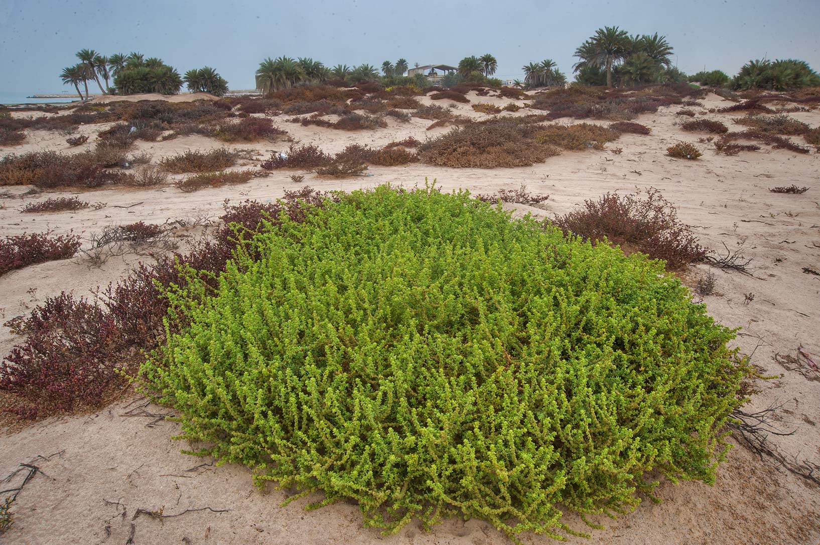 photo 162123 large bush of salsola cyclophylla in area