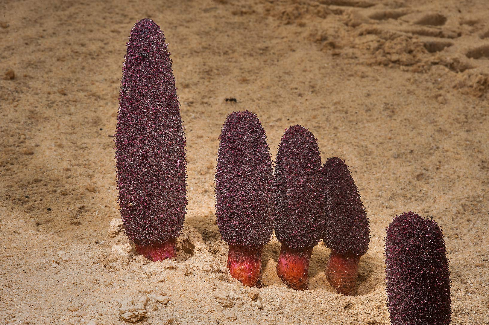 Dark-red flowers of Desert Thumb (Cynomorium...Well near Umm Bab. South-western Qatar