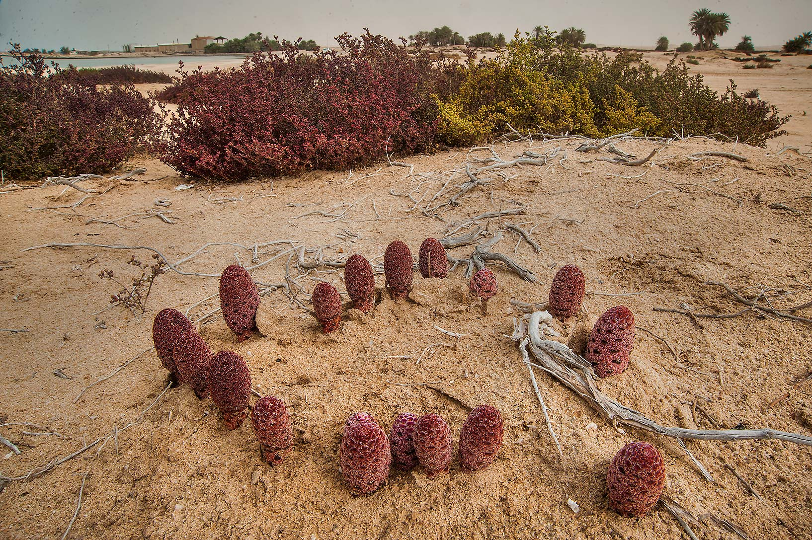 Parasitic plants of Desert Thumb (Cynomorium...Well near Umm Bab. South-western Qatar
