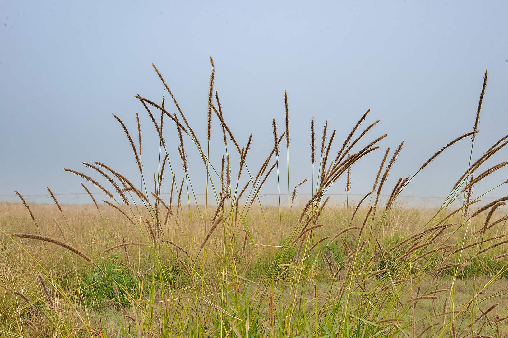 Long spikelets of South African pigeon grass...irrigation) in Irkhaya Farms. Qatar
