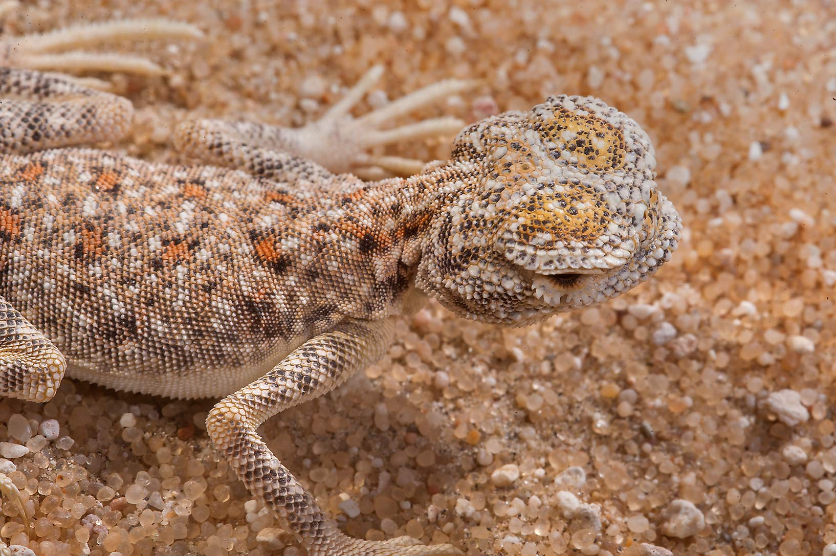Desert lizard Arabian toad headed agama...west of Khor Al Adaid. Southern Qatar