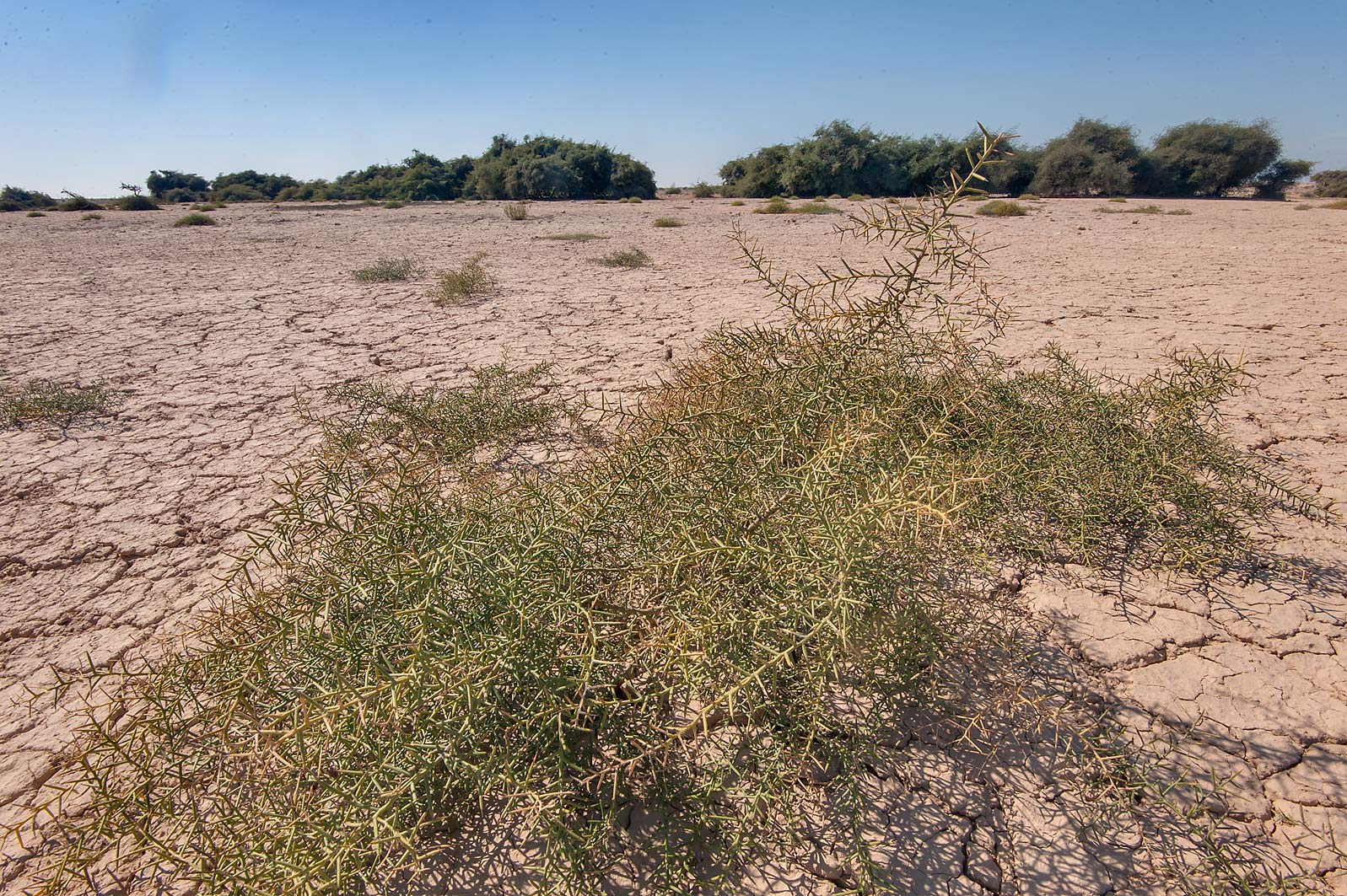Camelthorn bush (Alhagi maurorum) in a silty...Nuaman, Nuaimiya). Northern Qatar