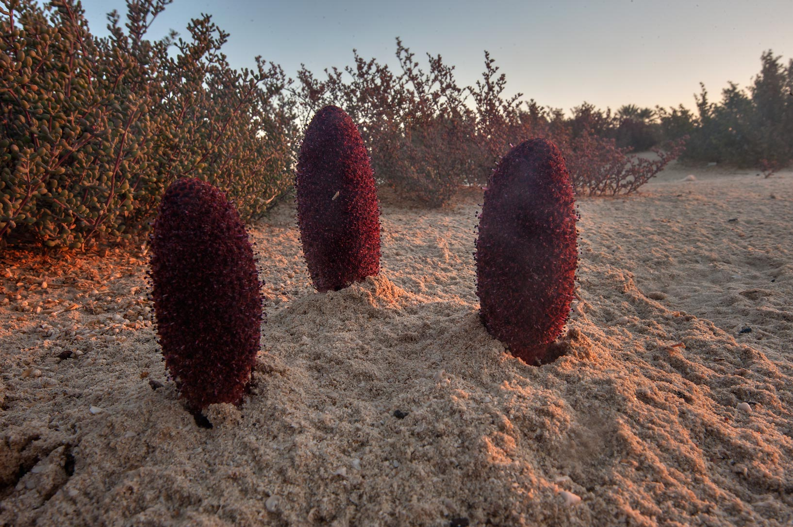Club-shaped flowers of Desert Thumb (Cynomorium...well near Umm Bab. South-western Qatar