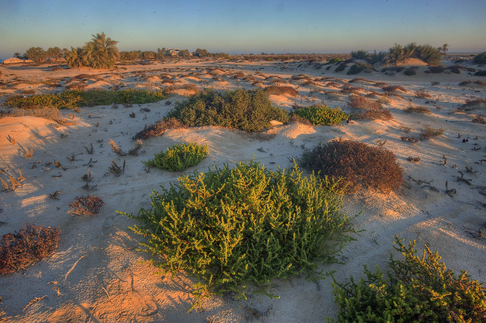 Salt tolerant plants on a beach in the area of Al...well near Umm Bab. South-western Qatar