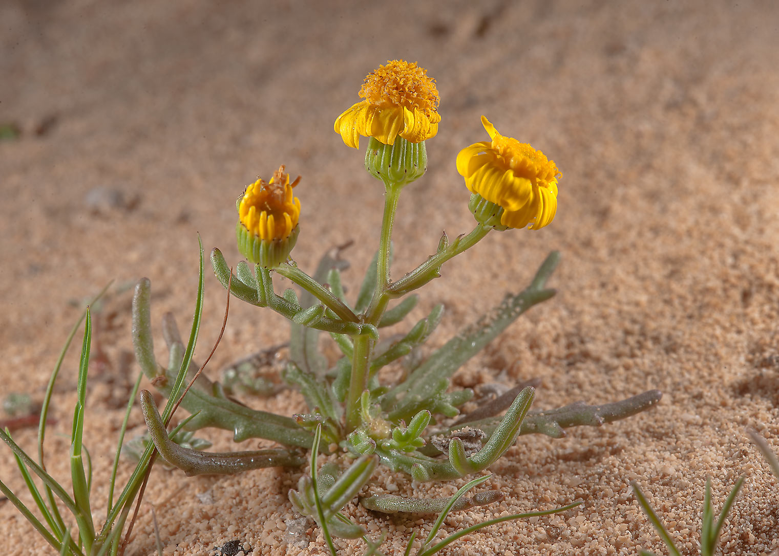 Buck s horn groundsel (Senecio glaucus, mureer) on Jebel Fuwairit. Qatar