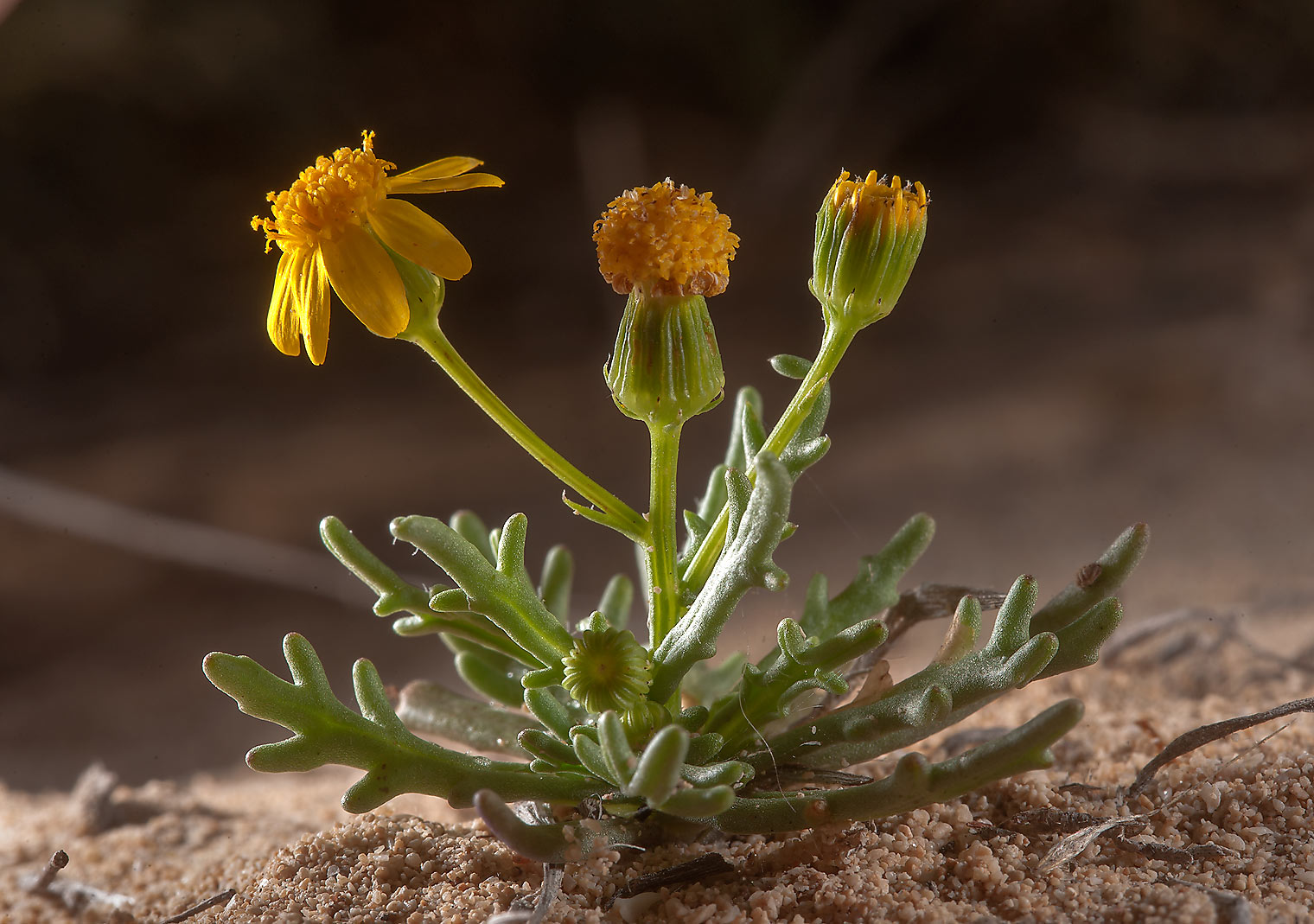Back lit plant of buck's horn groundsel (Senecio...of Jebel Fuwairit. Northern Qatar