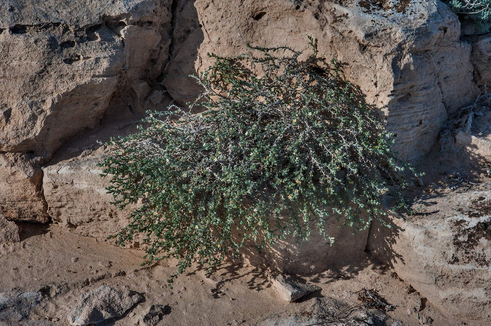 Plant of stoneseed (Echiochilon jugatum) on rocky ridge of Jebel Fuwairit. Northern Qatar