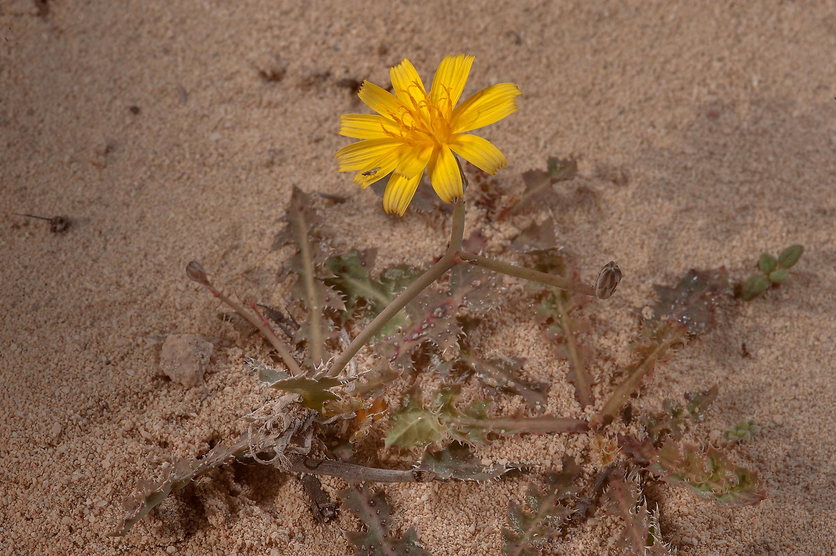 Launaea mucronata (local name Huwa ghazal) on...of Jebel Fuwairit. Northern Qatar