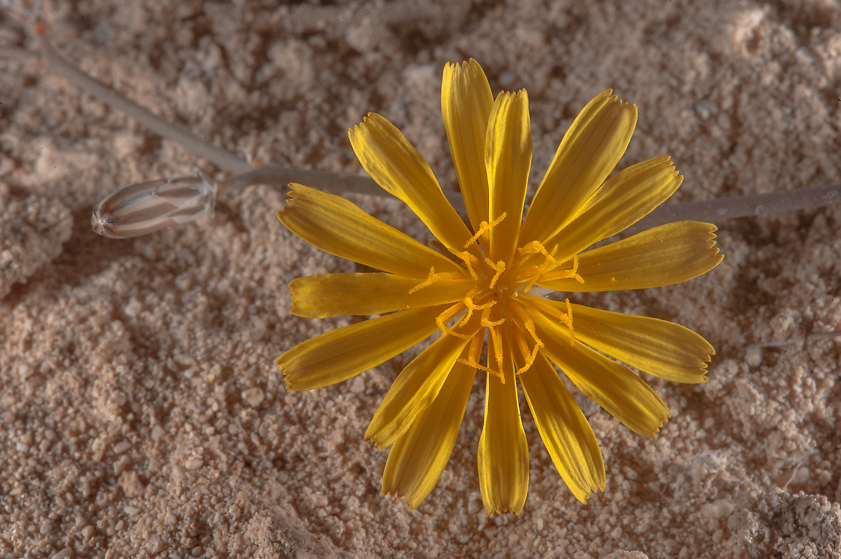 Flower of Launaea mucronata (local name Huwa...of Jebel Fuwairit. Northern Qatar
