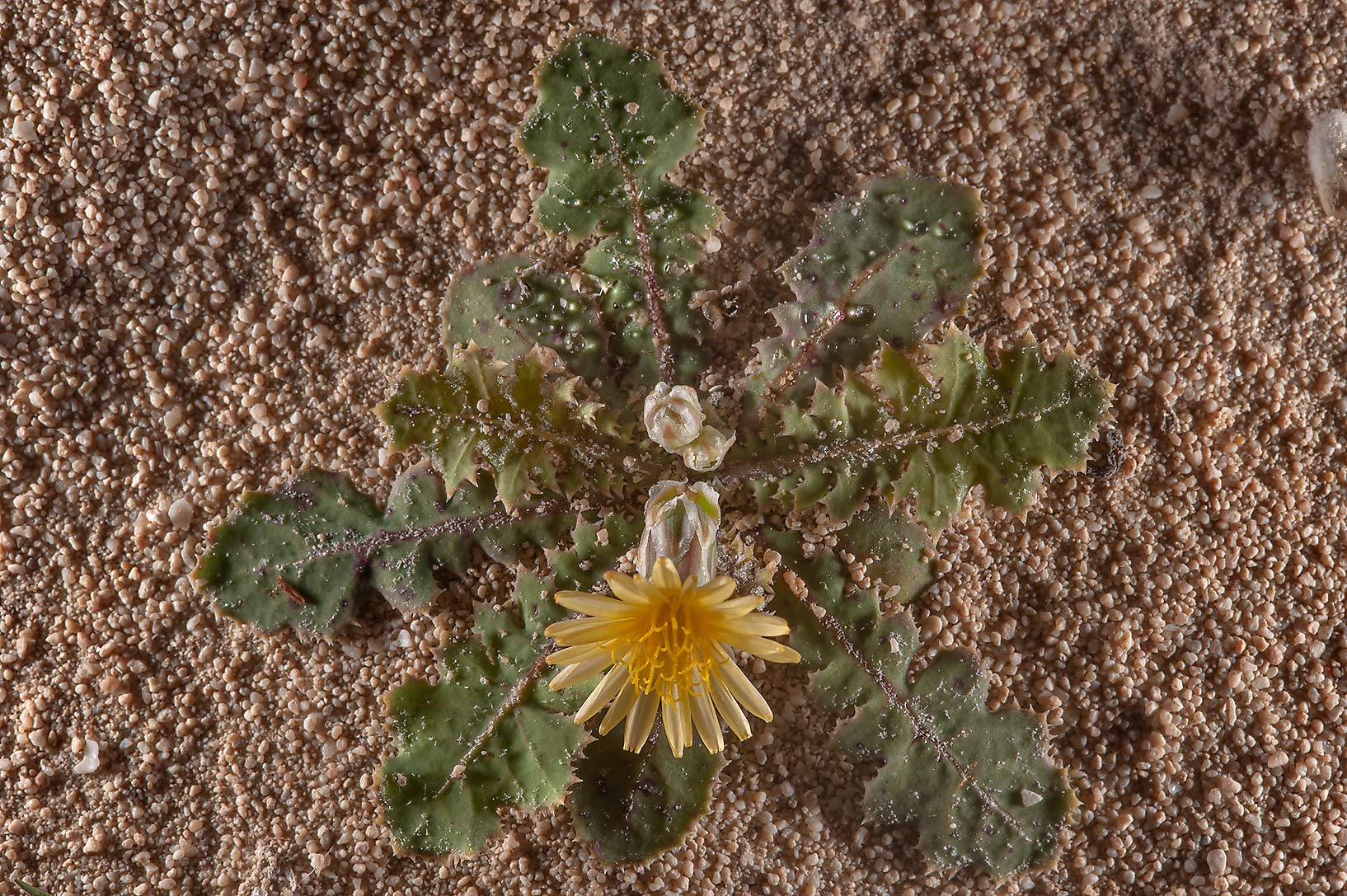 Launaea capitata (local names huwa, hazan) with a...of Jebel Fuwairit. Northern Qatar