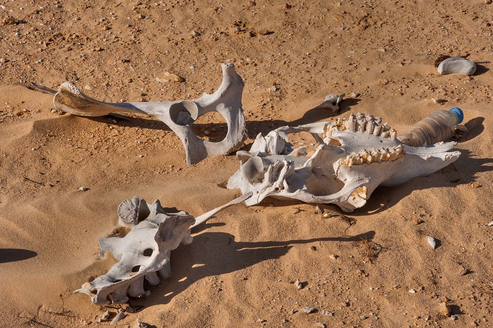 Camel bones in sand between Al Khor and Ras Luffan. Qatar