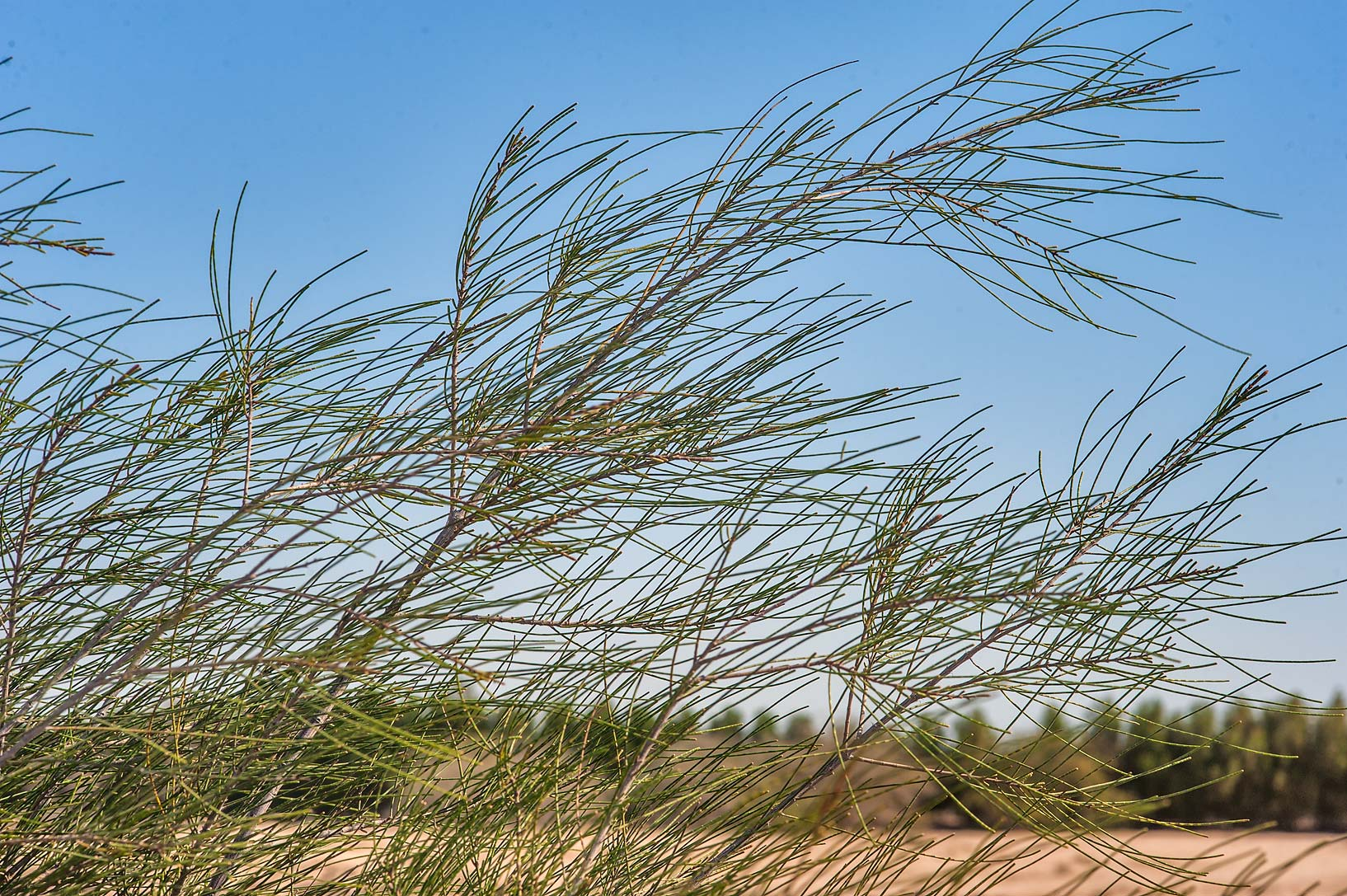 Australian pine (she-oak, Casuarina equisetifolia...between Al Khor and Ras Luffan. Qatar