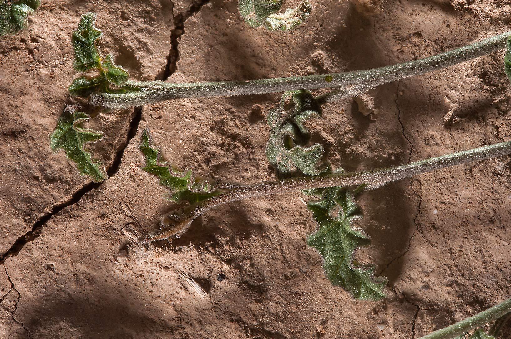 slideshow 154110 close up of shoots of bindweed
