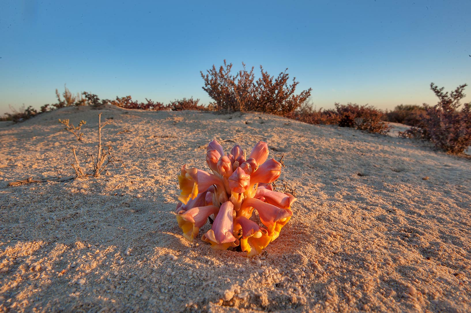 Desert Hyacinth (Cistanche tubulosa, dhanoon...on a beach in southern Al Wakra. Qatar