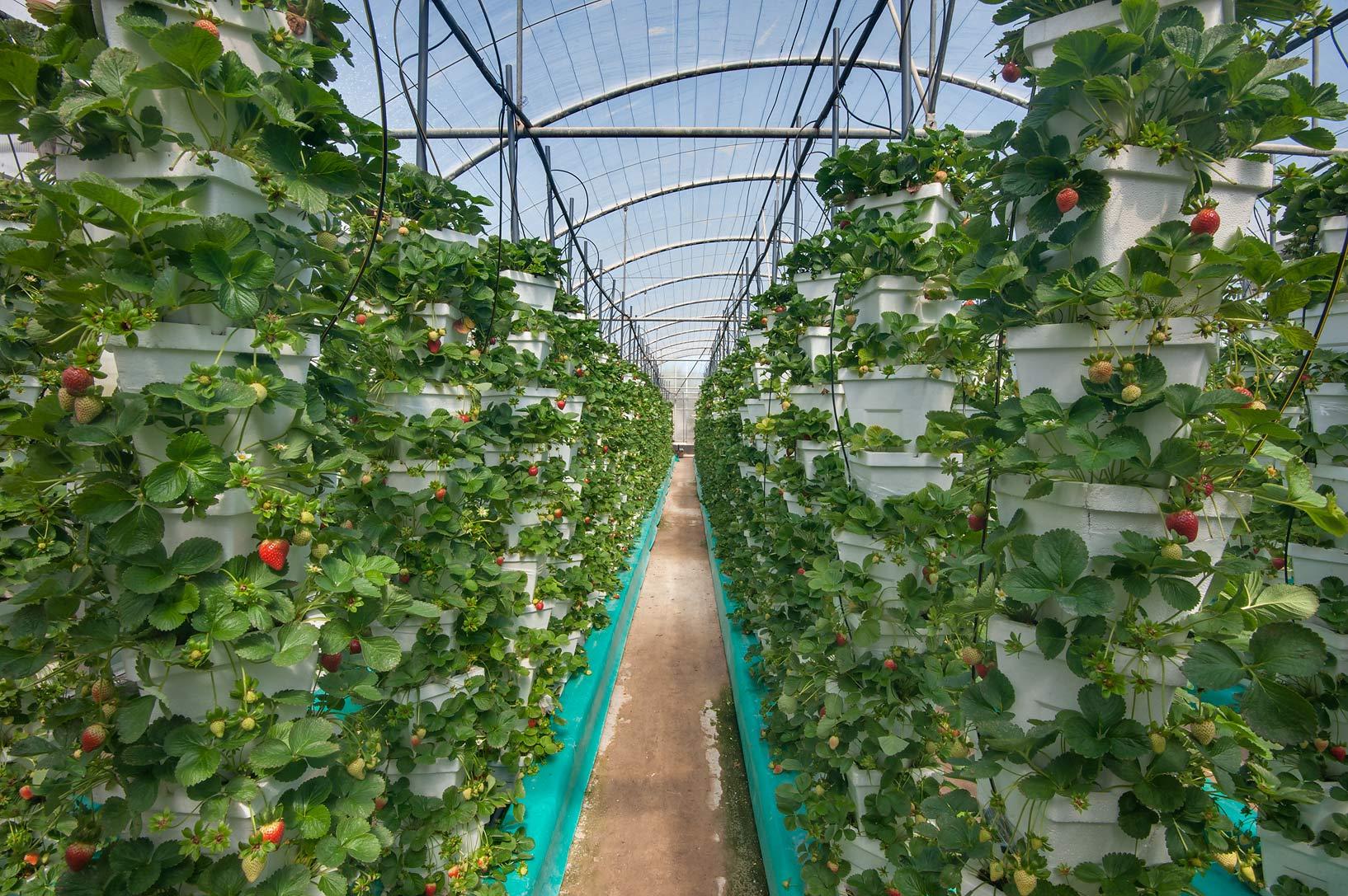Ферма по выращиванию малины 64