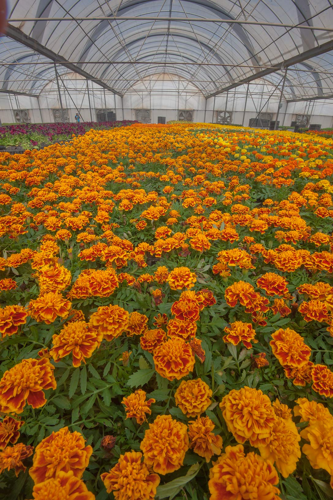 Tagetes flowers in a greenhouse in Sulaiteen Farm. Doha, Qatar