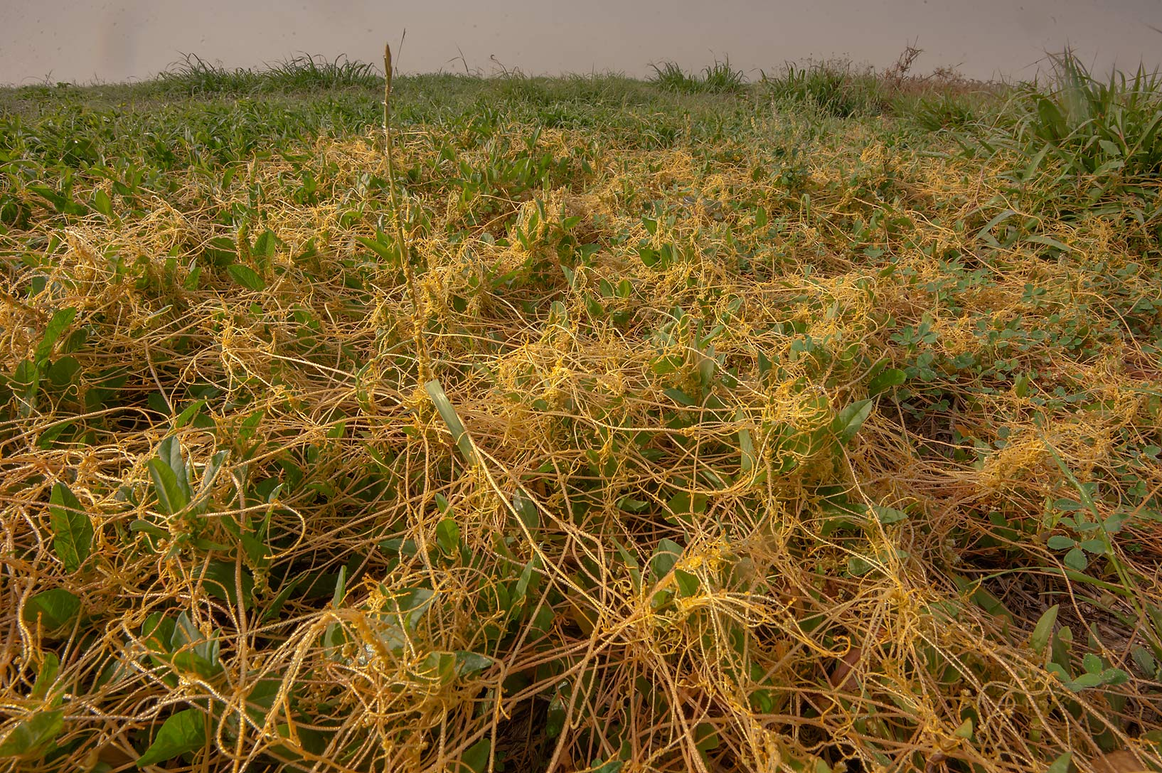 Golden dodder (Cuscuta campestris) spreading on a...in Irkhaya (Irkaya) Farms. Qatar