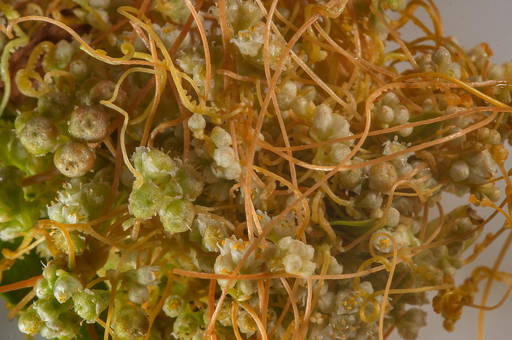Flowers of field, or golden dodder (Cuscuta...in Irkhaya (Irkaya) Farms. Qatar