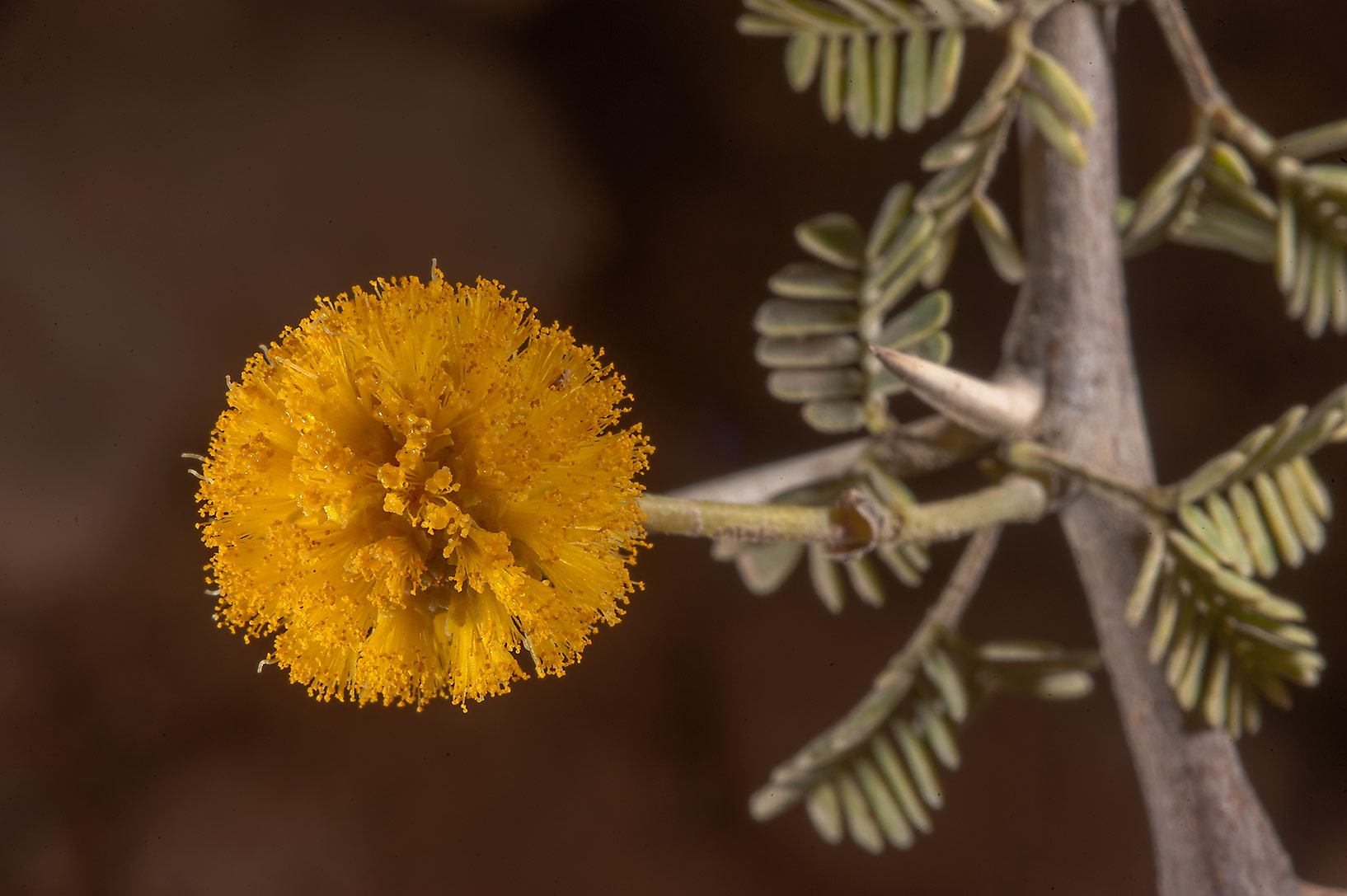 Yellow flower on a Acacia ehrenbergiana in Uwaynat Bin Husayn near Simaisma. Qatar