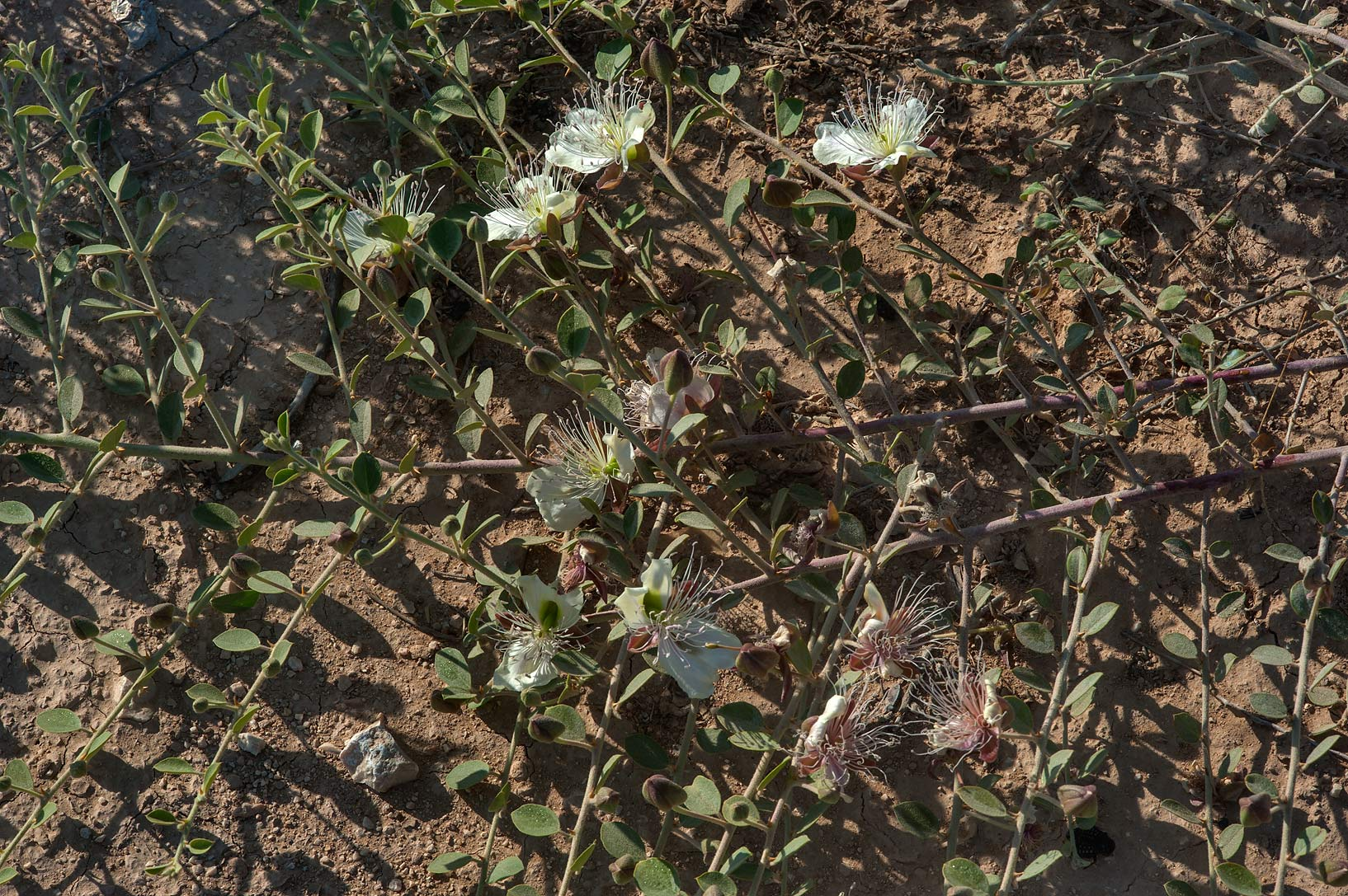 Thorny bush of Caper plant (Capparis spinosa) in...Bin Husayn near Simaisma. Qatar