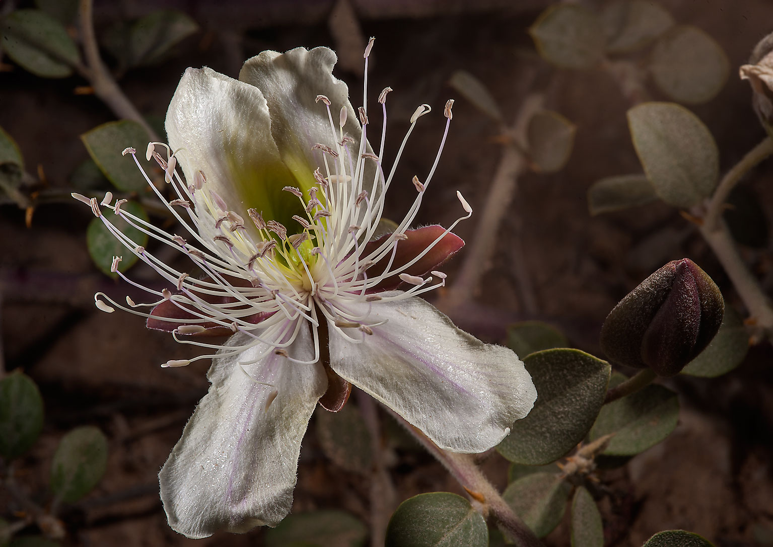 White flower of Caper plant (Capparis spinosa) in...Bin Husayn near Simaisma. Qatar