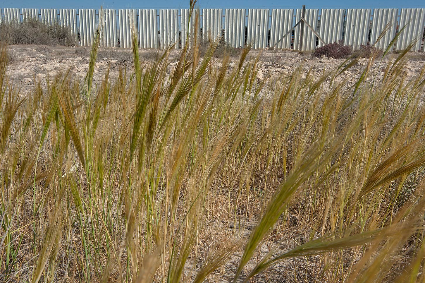 Spear grass (Stipa capensis, local names samma...depression of a road to Zubara. Qatar