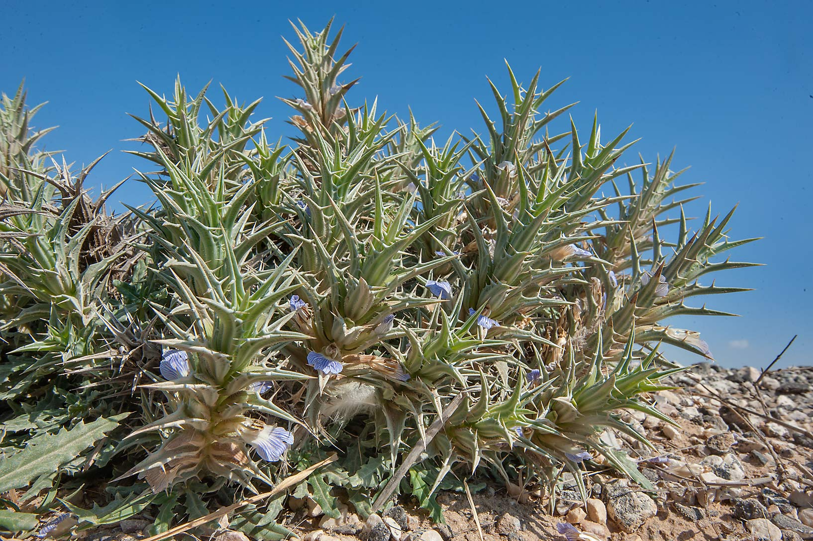 Eyelash plant (Blepharis ciliaris, local names...of a road to Al Numan. Northern Qatar