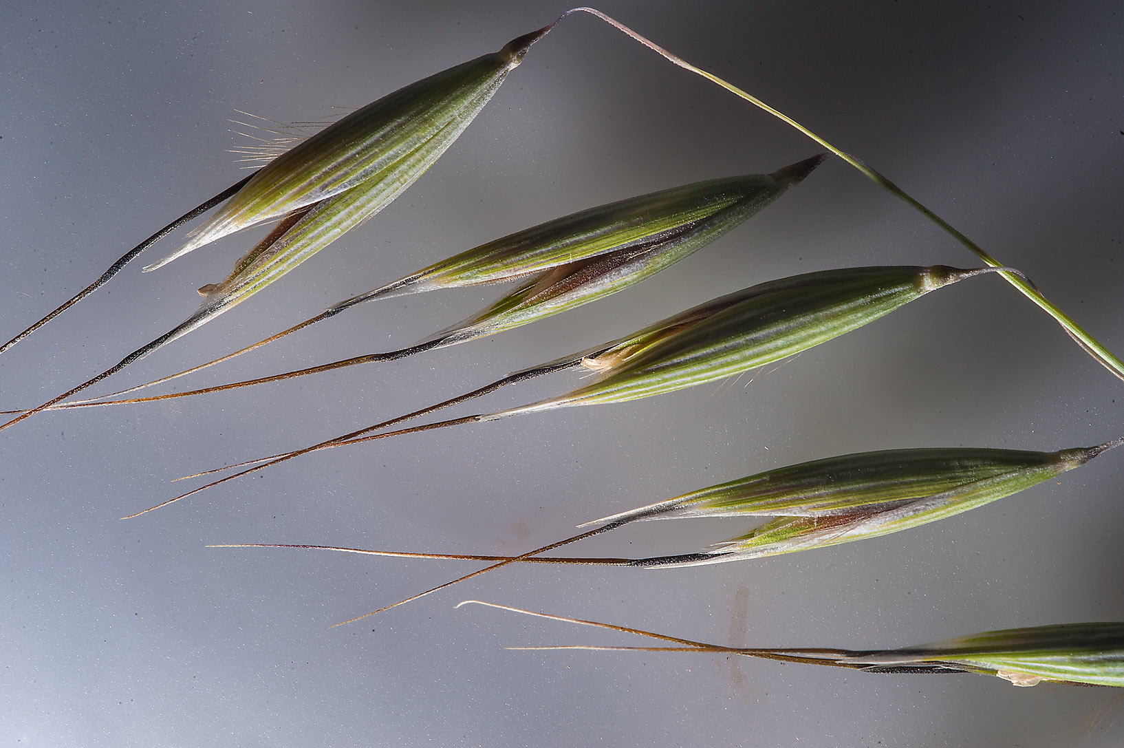 Close up of flowers of winter wild oat (Avena...Al Sham St. in West Bay. Doha, Qatar