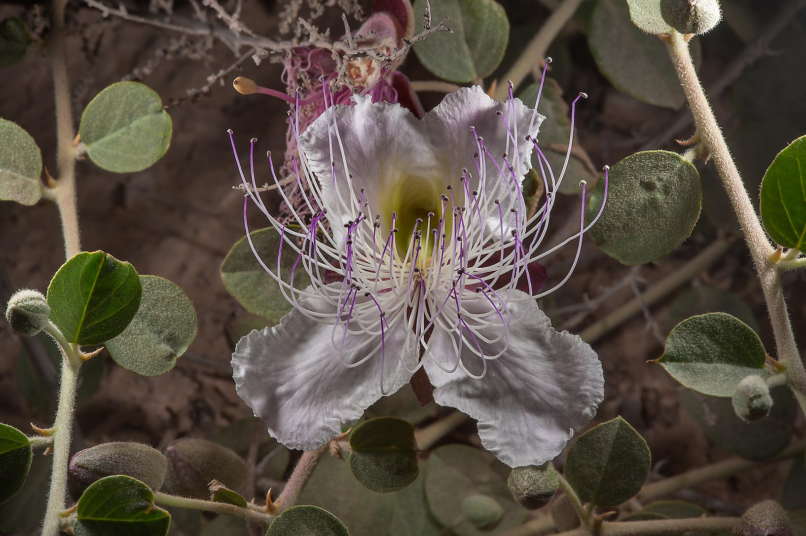 Close up of a flower of Caper plant (Capparis...Bin Husayn near Simaisma. Qatar