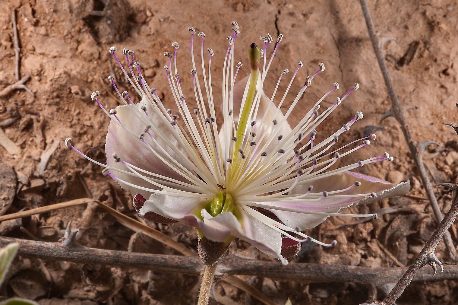 Flower of Caper plant (Capparis spinosa) with...Bin Husayn near Simaisma. Qatar