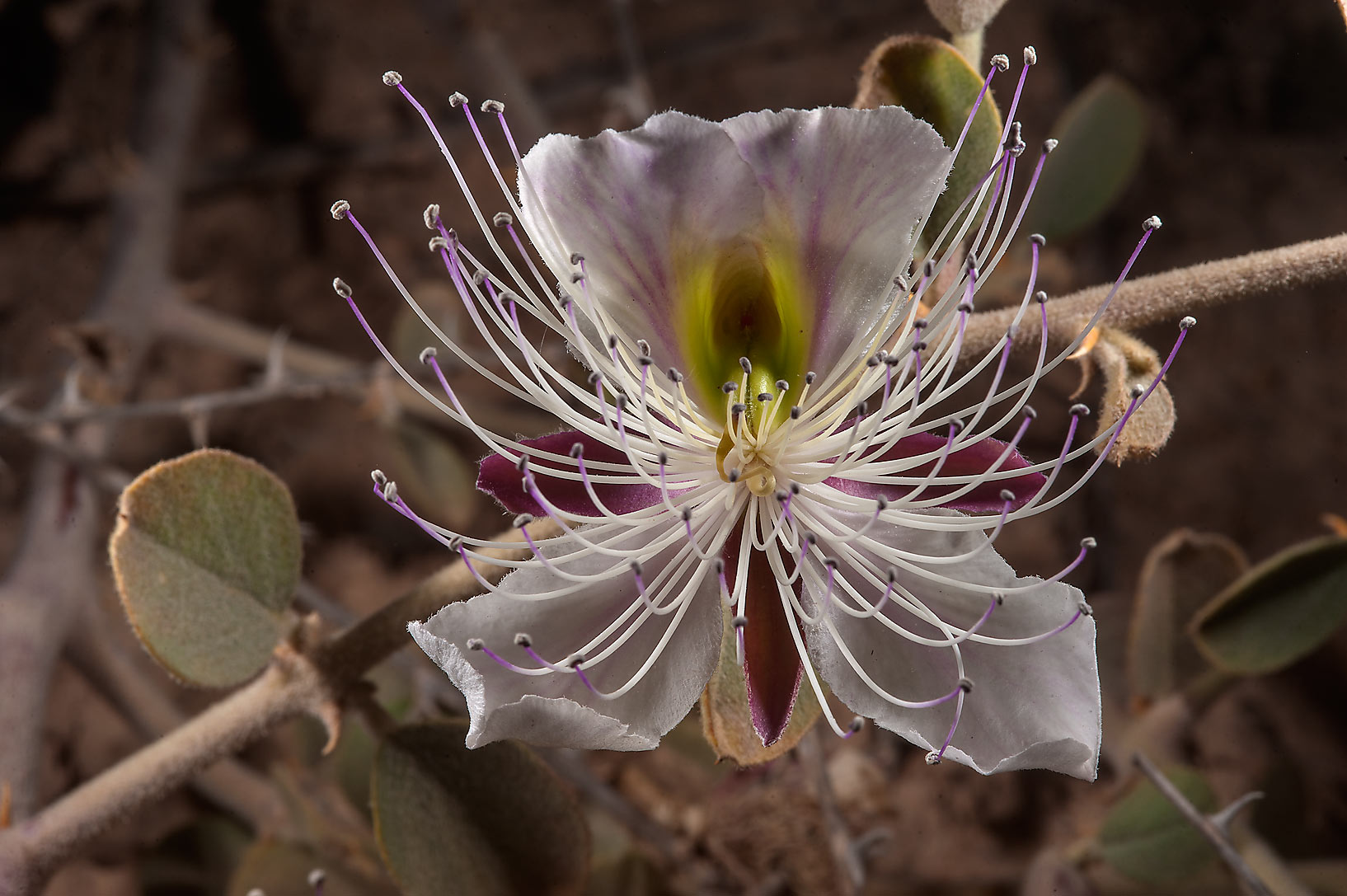 Large white flower of Caper plant (Capparis...Bin Husayn near Simaisma. Qatar