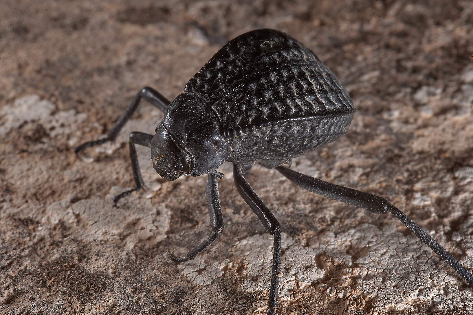 Pitted darkling beetle (Adesmia cancellata) on...of Jebel Fuwairit. Northern Qatar