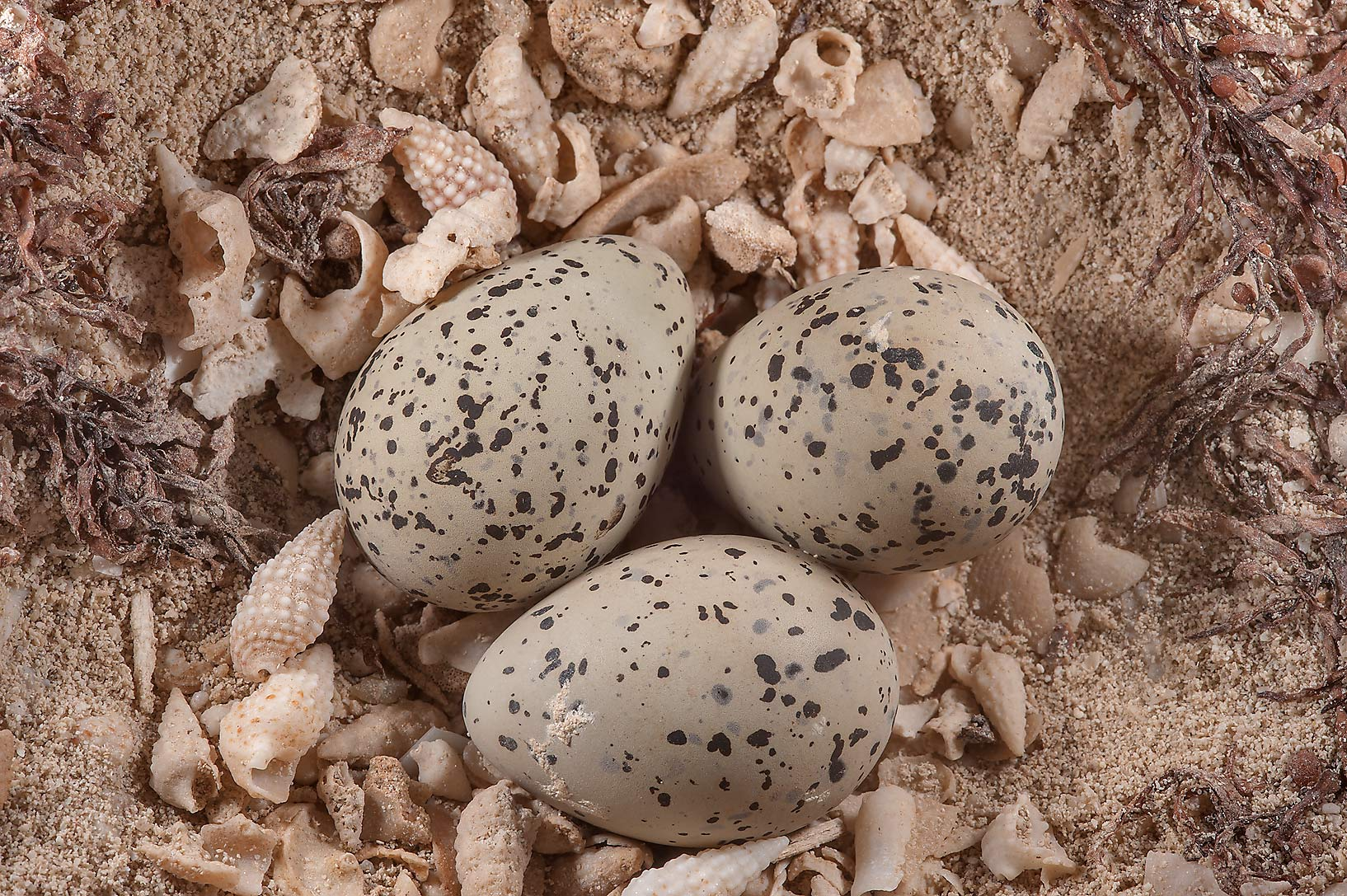Eggs of sea birds Sterna (terns) on a beach near Zubara. Northern Qatar