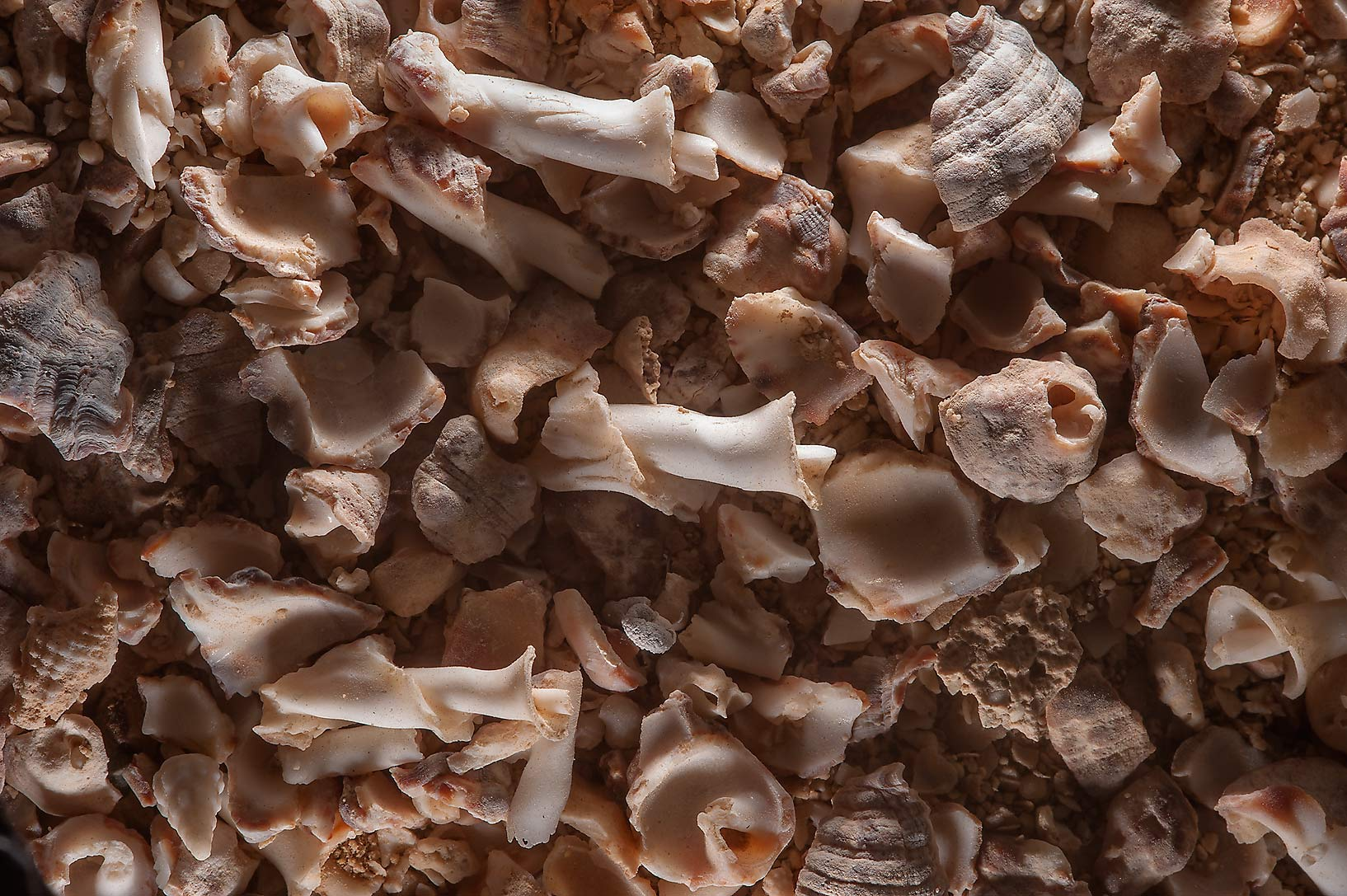 Crushed shells of a sea snail Thais Savignyi from...Jazirat Bin Ghanim). Al Khor, Qatar