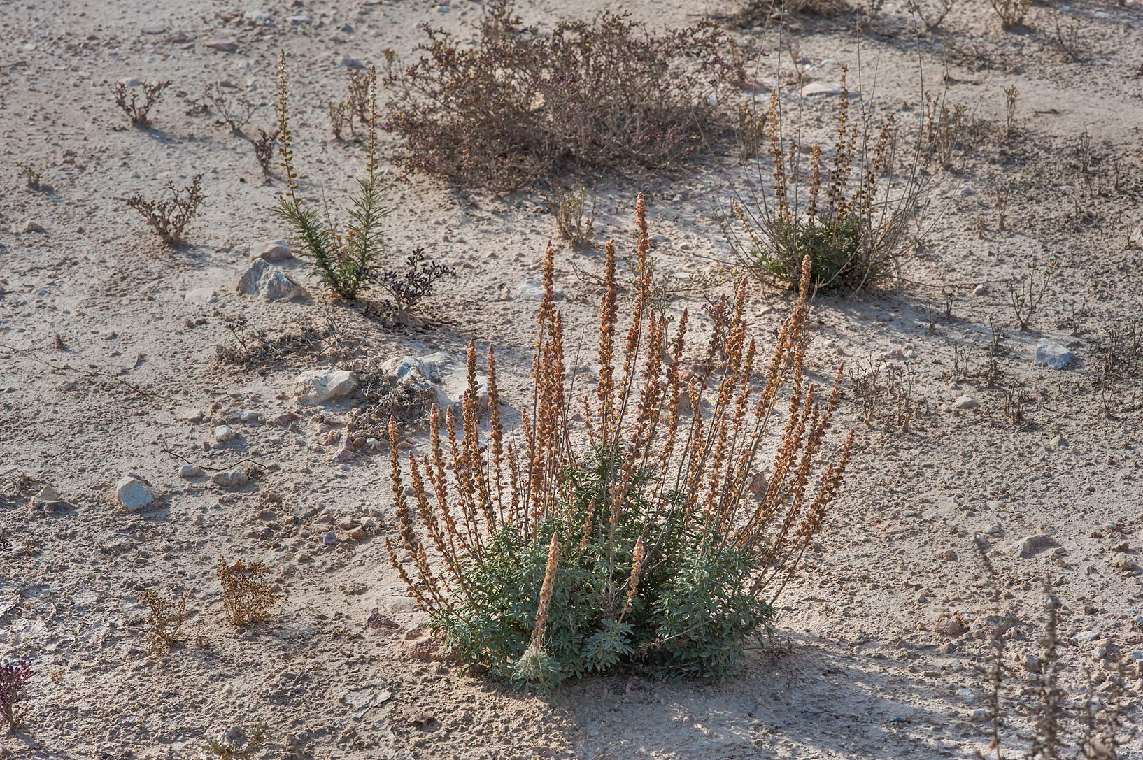 Reseda muricata (local name showla) near Al Khor Hospital. Qatar