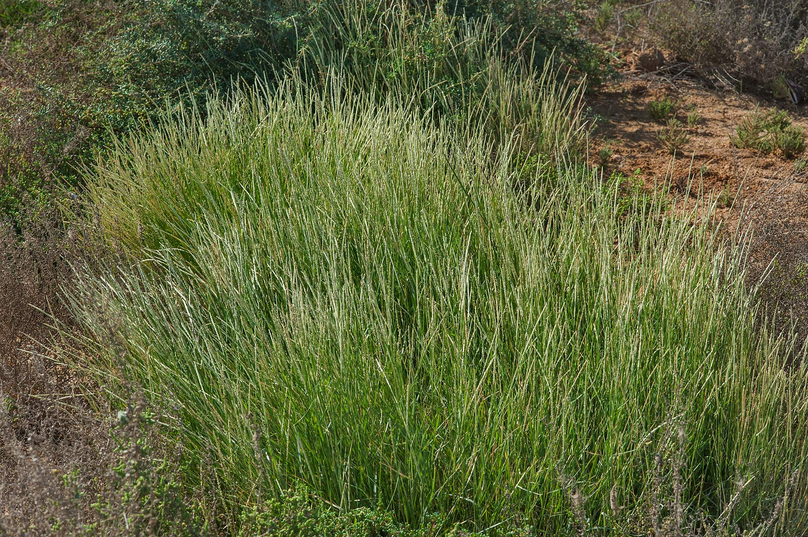 Grass Sporobolus spicatus growing along small water stream north from Al Khor. Qatar