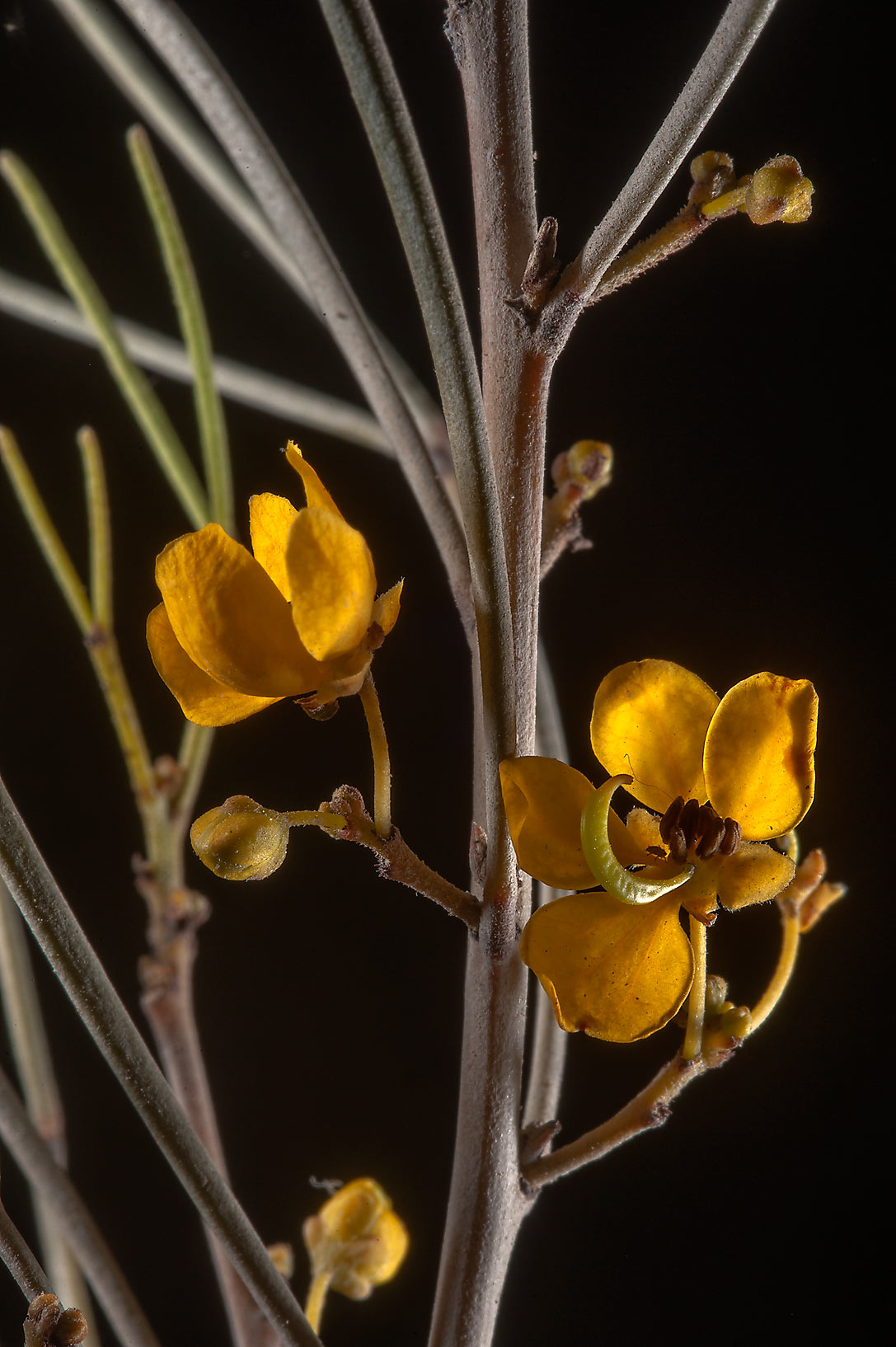 Flowers of fine-leaf desert cassia (Cassia...taken from Al Luqta area. Doha, Qatar