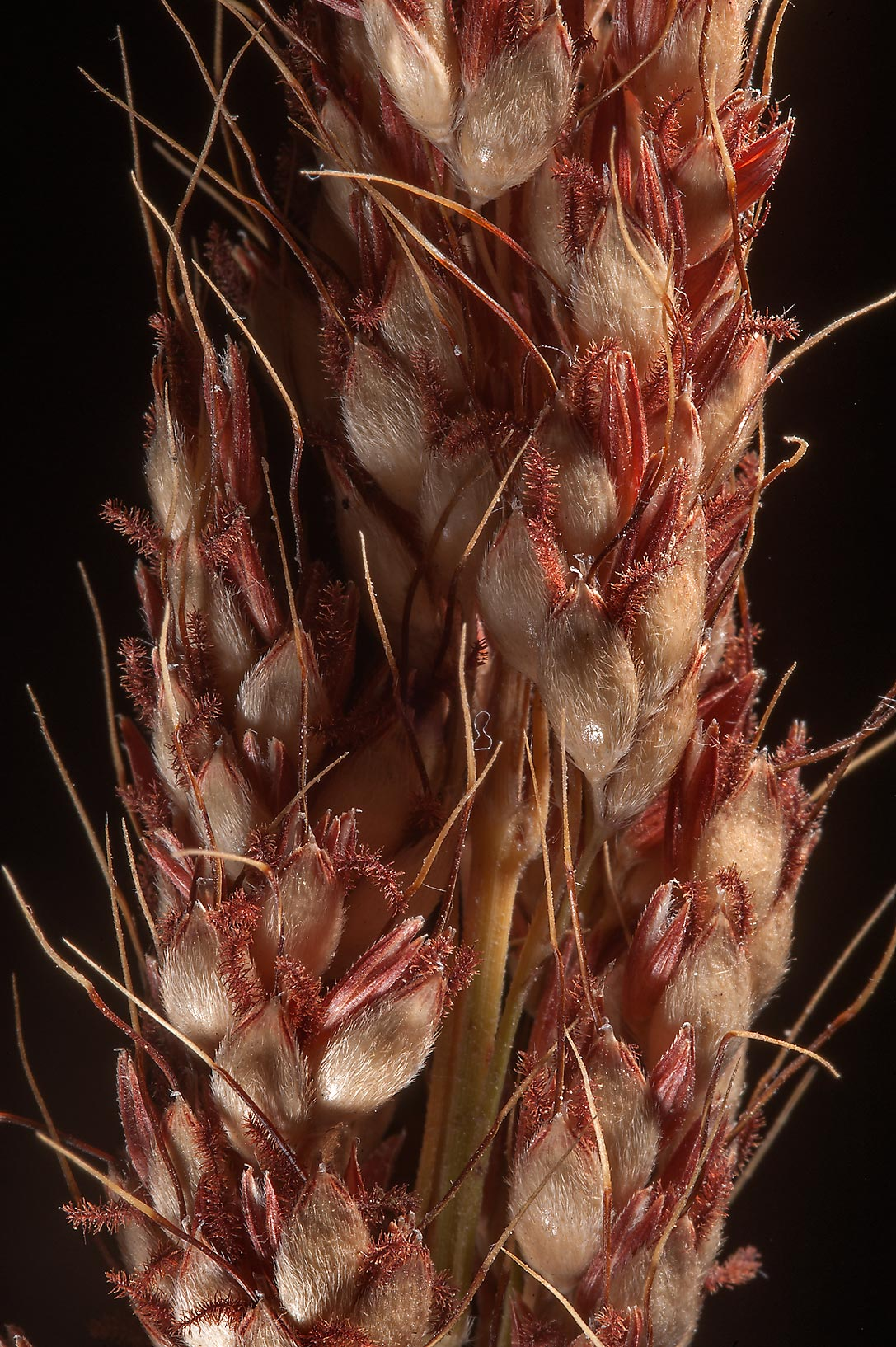 Grass spikelet of Sorghum taken from a place with...leakage in Al Luqta area. Doha, Qatar